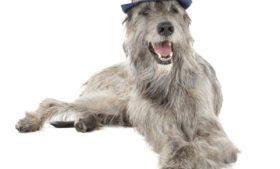 Irish Wolfhound: conheça mais sobre a raça do gigante cão irlandês