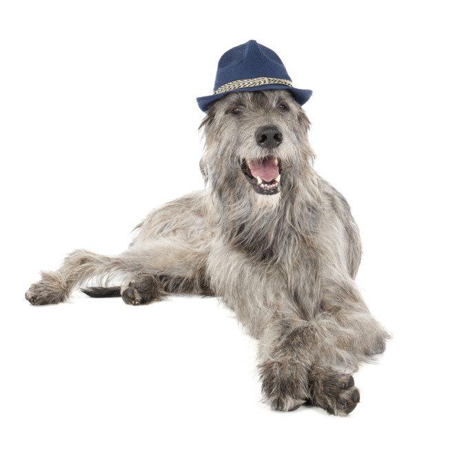 Maior cão do mundo é irlandês. © Vivienstock | Dreamstime.com