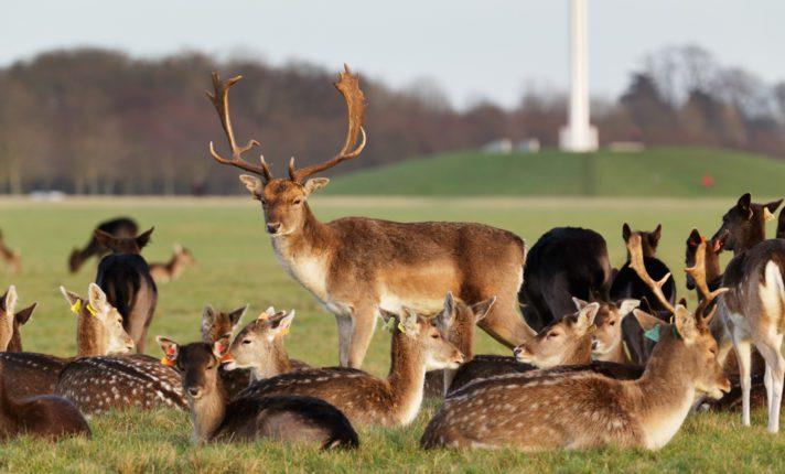 Phoenix Park alerta perigo em temporada de acasalamento dos cervos