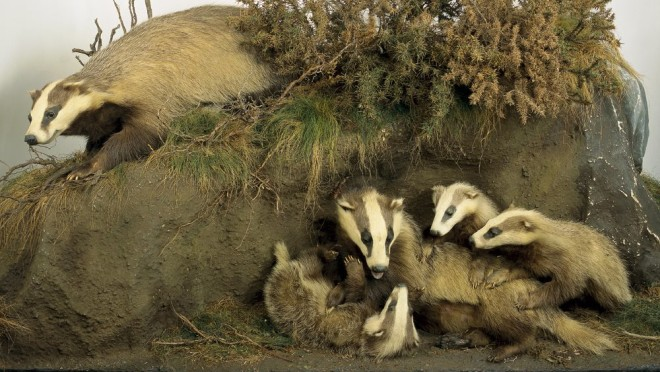 A Badger Family. Créditos: National Museum of Ireland - Natural History.
