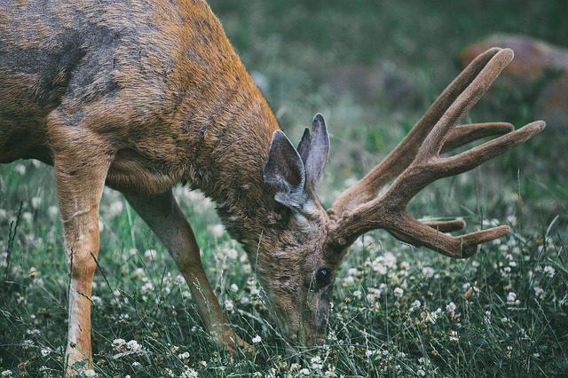 É no Phoenix Park que você irá encontrar os cervos. Foto: Pixabay