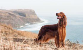 6 cães de raça da Irlanda para você conhecer