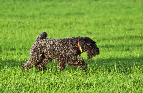 Kerry Blue Terrier. Foto: -S._E- | Depositphotos