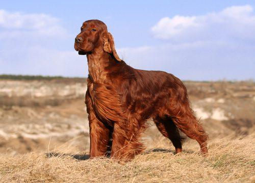 6 raças de cães originárias da Irlanda
