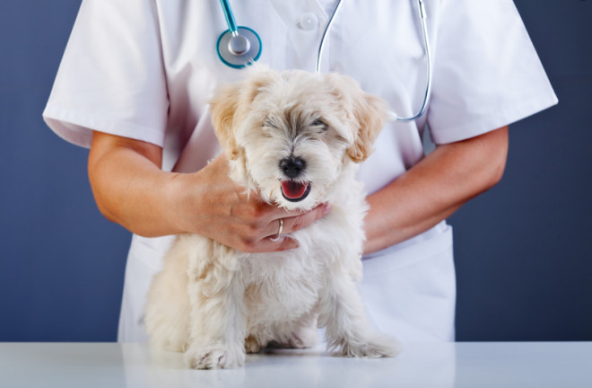 Clínicas veterinárias são responsáveis por inserir chips nos cães. Foto: Nagy-bagoly Ilona/Dreamstime