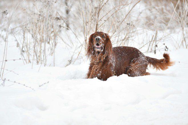 O Irish Red Setter é uma das nove raças irlandesas de cães. Foto: Vladimir Galkin/Dreamstime