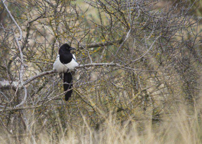 Pássado Magpie (Pica pica), um dos muitos encontrados na Bull Island, considerada santuário dos pássaros. Foto: Kieran Li/Dreamstime