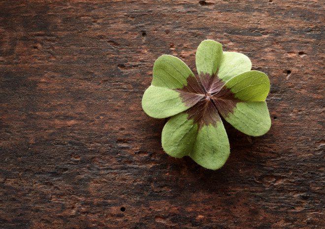 Achou um trevo de quatro folhas? Guarde num lugar bem seguro! Foto: Stockcreations | Dreamstime