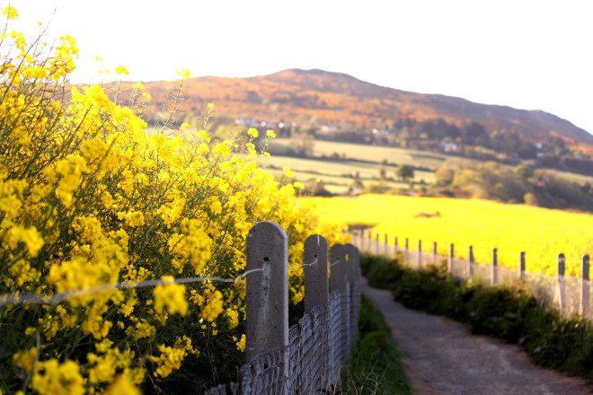 Em Greystones o campo de Canola fica no finalzinho da rota de caminhada de Bray a Greystones. Foto: Ávany França