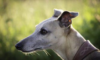 Investigação revela 6 mil mortes de cães de corrida por ano na Irlanda