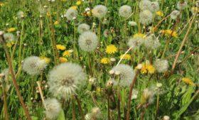 Irlanda emite alerta de alto nível de pólen