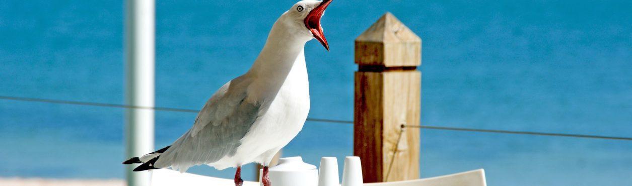 Como impedir que gaivotas roubem sua comida na Irlanda