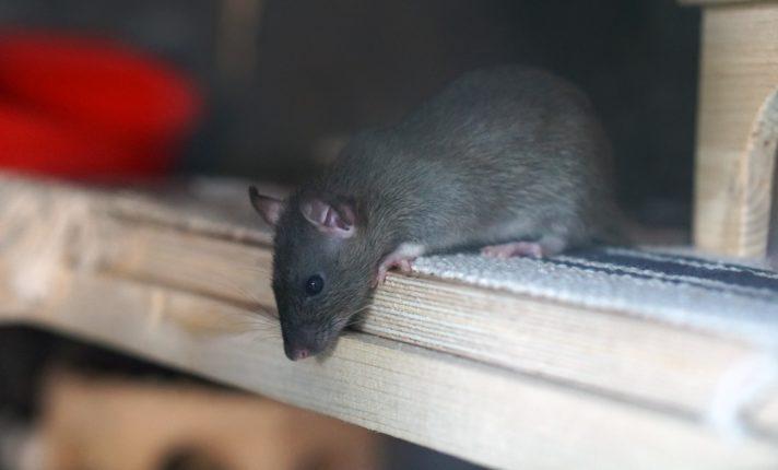 Dublin dobra número de invasão de ratos
