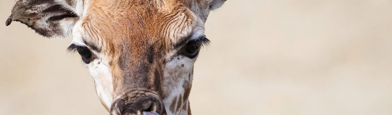 Filhote de girafa nasce no Dublin Zoo