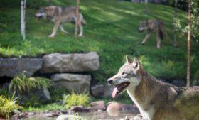 Inaugurado novo espaço com lobos no Dublin Zoo