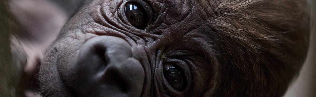 Bebê gorila nasce no Dublin Zoo