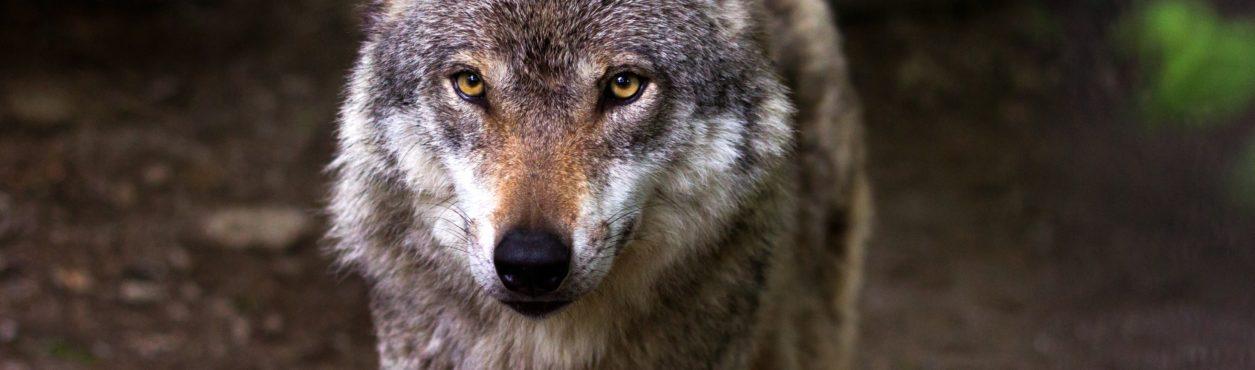 Projeto sugere reintroduzir lobos na Irlanda