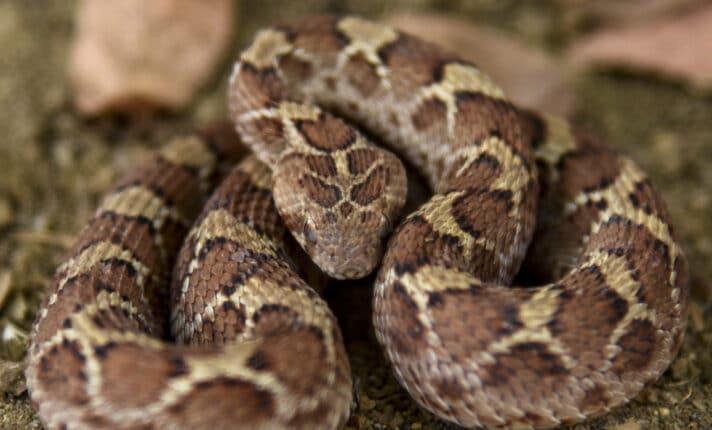 Cobra venenosa desafia lenda de St. Patrick e aparece na Irlanda