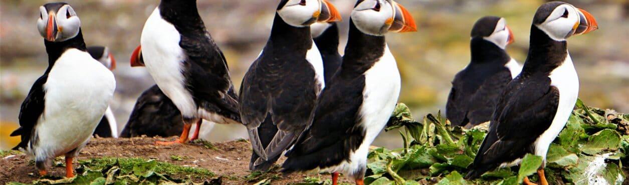 Puffins: já ouviu falar dos papagaios-do-mar da Irlanda?